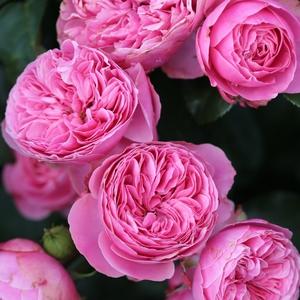 Как выглядит роза Леонардо Да Винчи