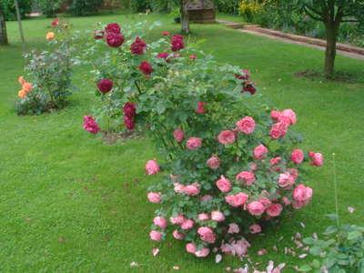 Роза Леонардо да Винчи характеристика сорта