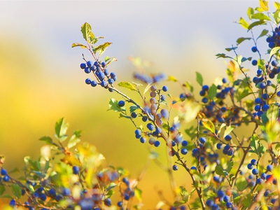 Колючая слива терновка кустарник посадка и уход садовый где растет