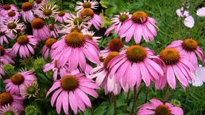 Способы размножения растения эхинацея