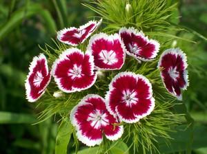 Турецкие гвоздики цветы 21