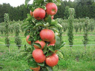 Колоновидная яблоня правильная посадка и уход