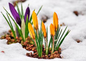 Время цветения крокусов в природе