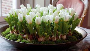 Цветение крокусов в горшке