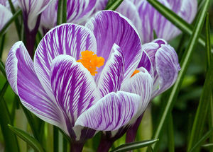 Крокусы Pickwick: цветение