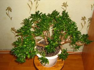 как правильно пересадить цветок денежное дерево