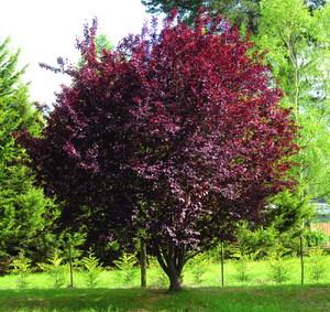 Дерево черемухи в саду
