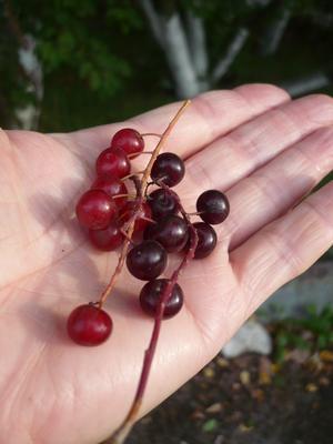 Плоды черемухи Виргинской