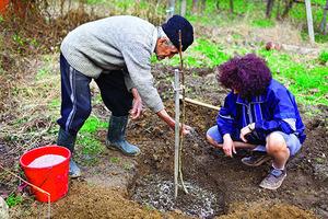 Как посадить сливу в открытый грунт