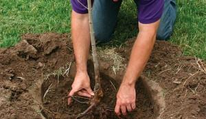 Как посадить сливу