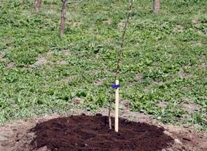 Уход за деревом сливы после посадки