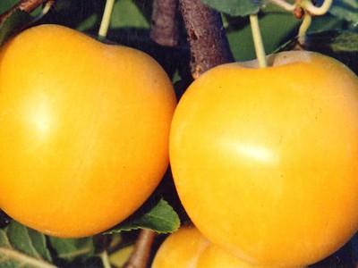 Слива желтая самоплодная: описание сортов, фото, отзывы