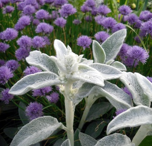 Растения-компаньоны для чистеца византийского