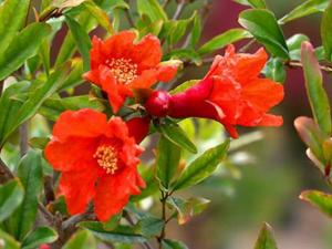 Цветение граната - необыкновенное зрелище