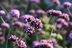 Вербена в цвету