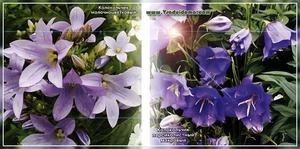 Цветы колокольчики: описание популярных видов, рекомендации по уходу и посадке