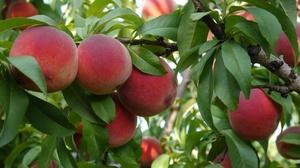 Плоди персика