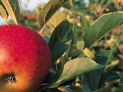 Яблоневый цветоед и борьба с ним