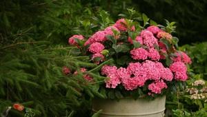 Как посадить куст гортензии