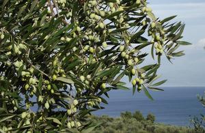 Размножение оливкового дерева