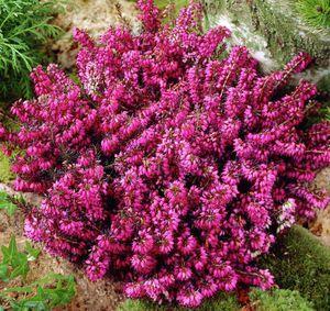 Особенности растения эрика