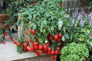 Как правильно выращивать помидор в домашних условиях 59