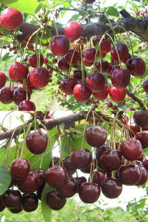 Какие самые популярные сорта вишни