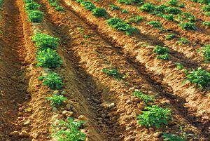 Особенности процедуры посадки картофеля в гребни