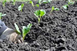 Высадка капусты в теплице