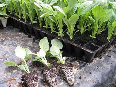 Когда высаживать капусту в открытый грунт