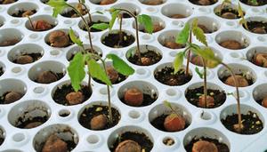 Саженцы ореха Орехоплодный питомник 15