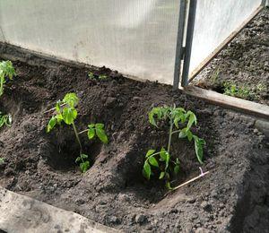 Особенности посадка томатов в теплицу