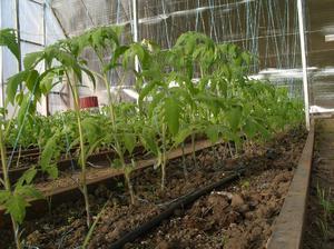 Когда выращивать рассаду в теплице 191