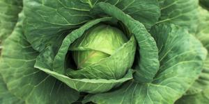 Как правильно выращивать белокочанную капусту?