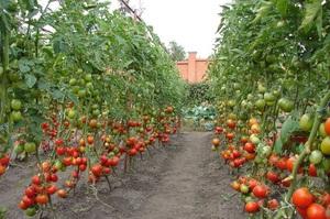Особенности посадки помидор в открытом грунте