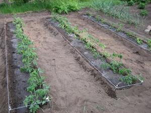 Нюансы посадки помидор в почву