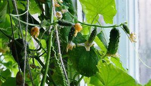 Огурец - уникальный овощ, который можно вырастить не только на открытых грунтах
