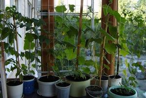 Сначала нужно правильно подобрать гибриды огурцов, которые будем выращивать в домашних условиях
