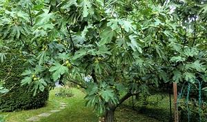 Инжир (фиговое дерево )
