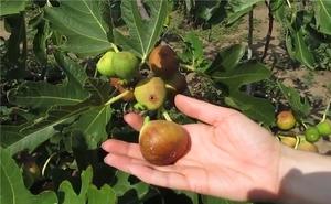 Выращивание Инжиа в открытом грунте инжир