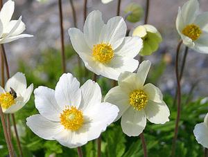 ветреница цветок описание