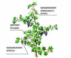 Формирование куста винограда