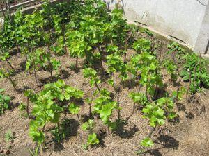 Как выращивать виногрда