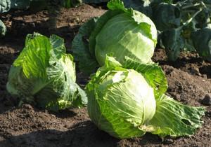 Как сажать капусту на рассаду