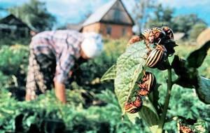 Народные способы борьбы с колорадским жуком