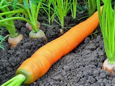 Особенности выращивания моркови без полива