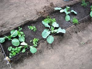 Как часто поливать капусту