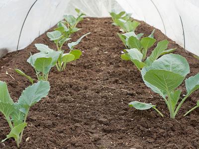 Посадка рассады и прямой посев капусты в открытый грунт видео