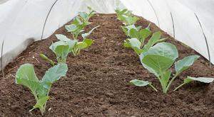 Как вырастить белокачаную капусту