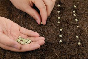 Семена гороха для посадки